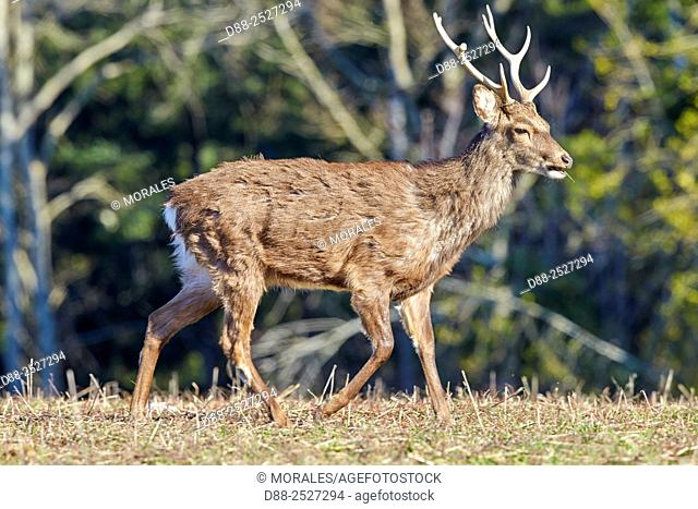 France, Haute Saone, Private park, Sika Deer Cervus nippon, stag, standing at the edge of the forest