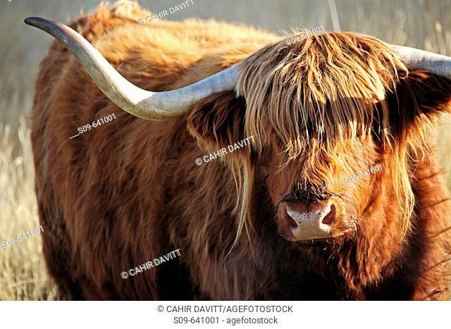 Highland Cattle at Deerpark Heights, Kelvin Peninsula, Queenstown, Otago & South land, South Island, Newzealand