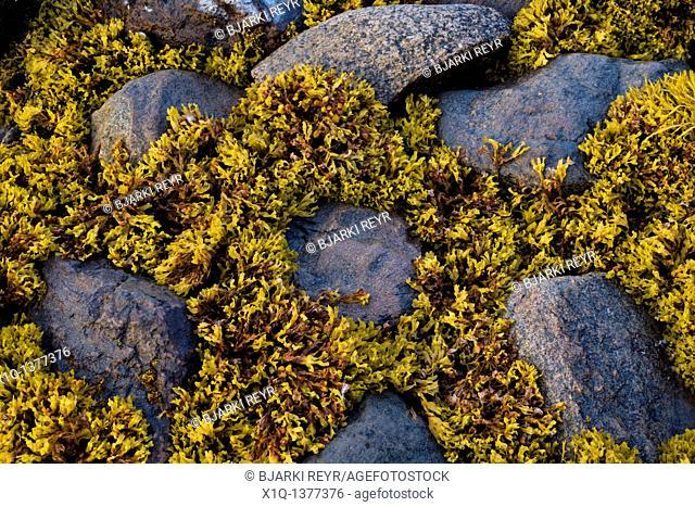 Rocks and seaweed, South Greenland