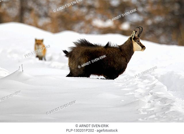 Chamois Rupicapra rupicapra and fox in the snow in winter, Gran Paradiso National Park, Italian Alps, Italy