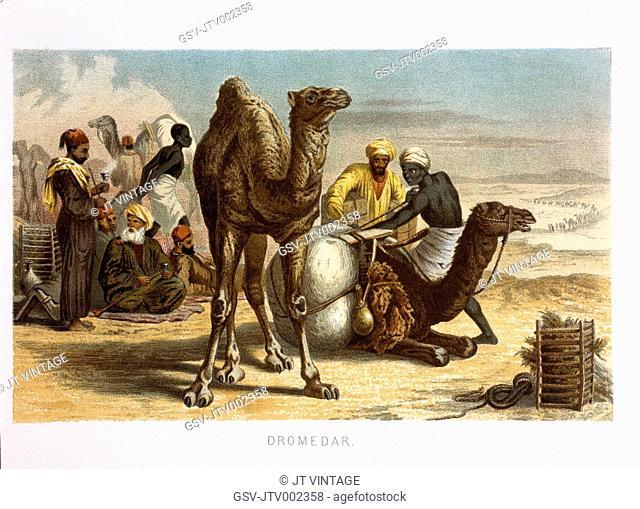 Dromedaries, Camelus dromedarius, Chromolithograph, 1898