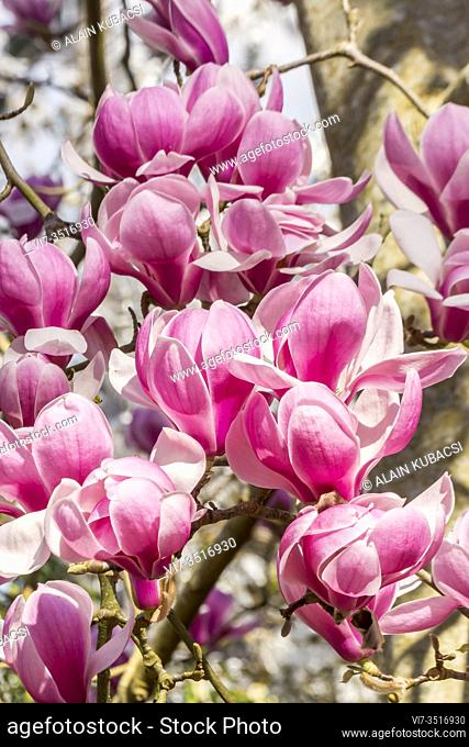 Magnolia denudata 'Forrest's Pink'