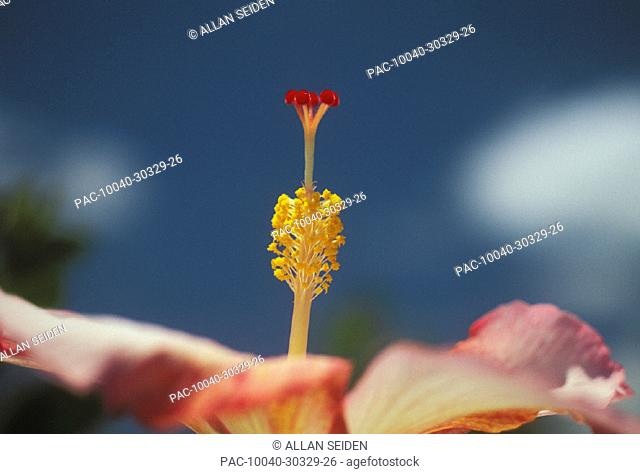 Extreme close-up, stamen of pink hybrid hibiscus flower side view, soft focus background