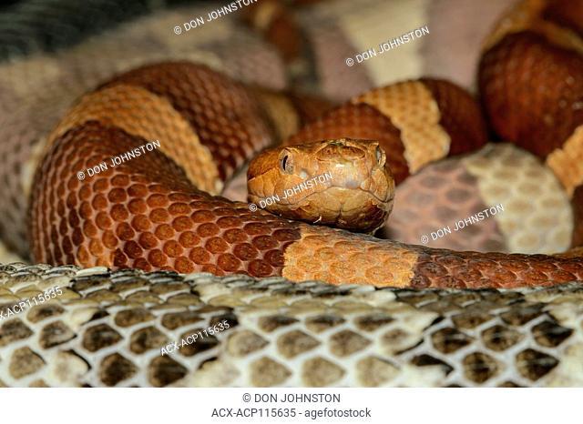 North American copperhead (Agkistrodon contortrix) Captive. Native to SE USA, Reptilia reptile zoo, Vaughan, Ontario, Canada