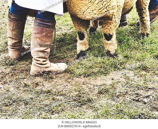 Legs of sheep and sheep handler in boots, Three Counties Show 2019, Malvern, Worcestershire, England