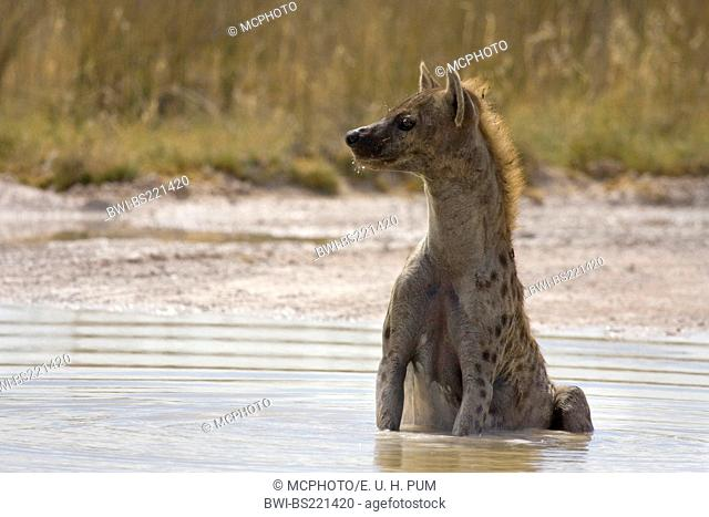 spotted hyena (Crocuta crocuta), sitting in shallow water, Namibia, Etoscha NP