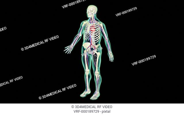 An animation of the inferior vena cava. The camera zooms in to the abdomen. The vena cava is highlighted and the camera rotates caudorostrally