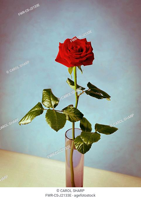 Rose, Rosa 'Grand Prix', Single stem red rose with leaves in glass vase against mottled blue wall