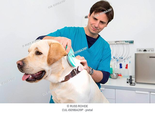Vets using scanner on labrador retriever to read microchip