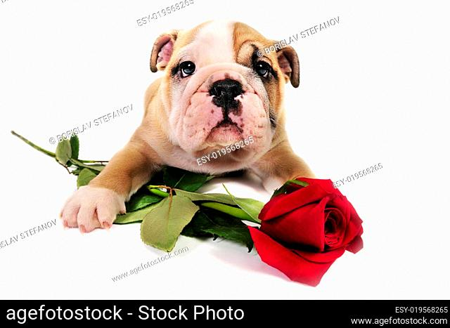 Bulldog puppy with valentine rose