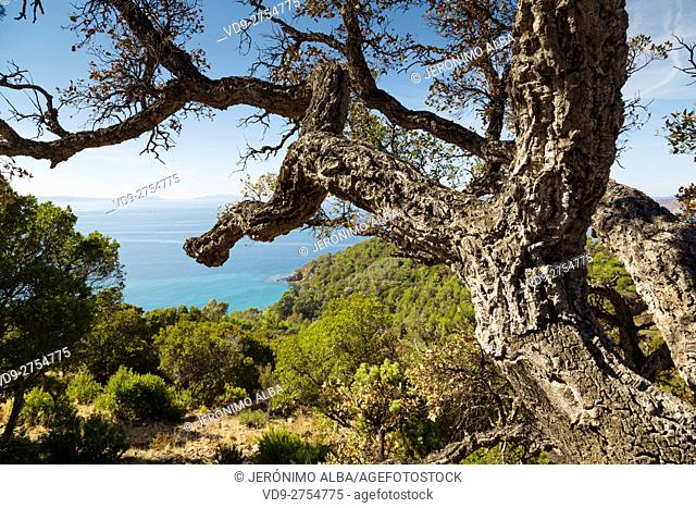 Mediterranean Sea and cork oak. Natural Park. Pointe du Trésor. Var department, Provence Alpes Cote d'Azur. French Riviera. France. Europe