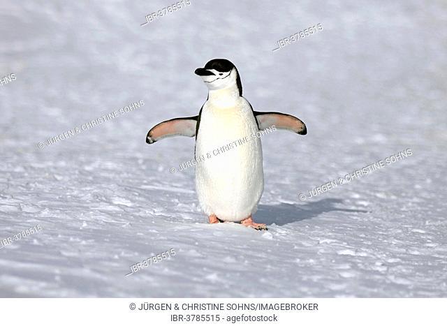 Chinstrap Penguin (Pygoscelis antarctica), adult, spreading wings, Brown Bluff, Antarctica