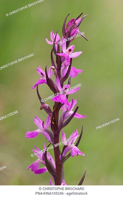 Elder-flowered Orchid Dactylorhiza sambucina - La Bastide-Pradines, Aveyron, Midi-Pyrénées, Pyrenees, France, Europe