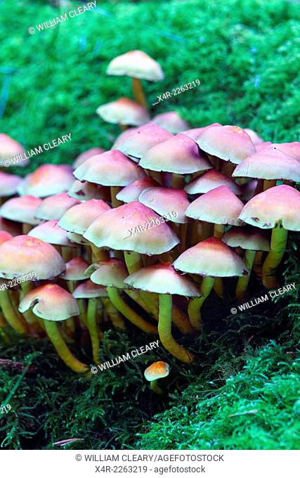 Mushrooms on forest floor, Newcastle woods, County Longford, Ireland