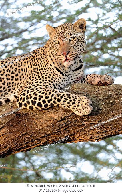 Leopard (Panthera pardus) in a big acacia tree in the savannah, portrait. Serengeti National Park. Tanzania