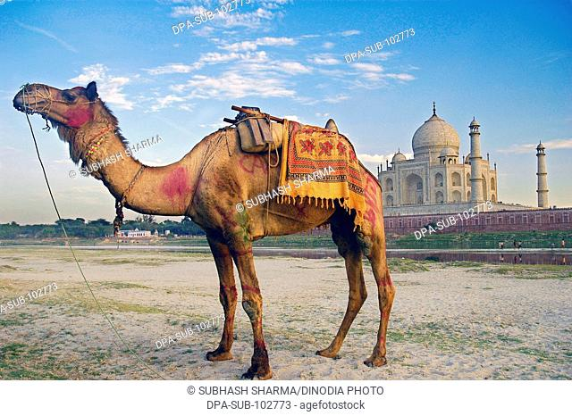 Camel banks river Yamuna flowing Taj Mahal Agra Ancient animal artist artistic beautiful blue sky clouds Color constructed 1631 A.D -1648 A