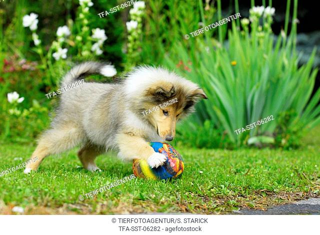 playing Collie puppy