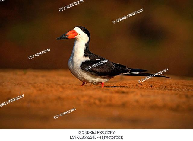 Black Skimmer, Rynchops niger, exotic bird in the nature habitat