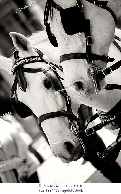 Couple of white horses with harness
