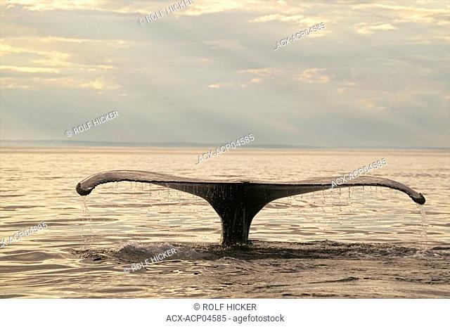 humpback whale, megaptera novaeangliae,Strait of Belle Isle, newfoundland, canada