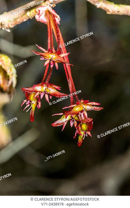 Red Maple (Acer rubrum) Female Flowers Ready for Spring with Seed Forming