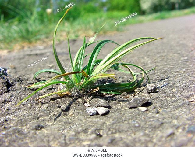 hairy sedge (Carex hirta), growing in asphalt, Germany, North Rhine-Westphalia