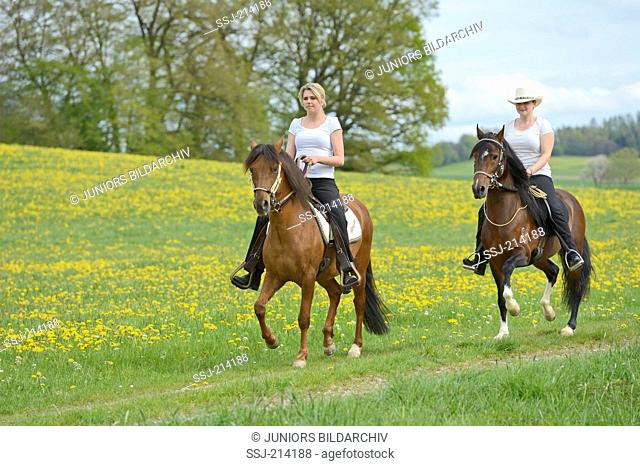 Two horsewoman riding on Paso Fino Horses over a flowering meadow, Bavaria, Germany