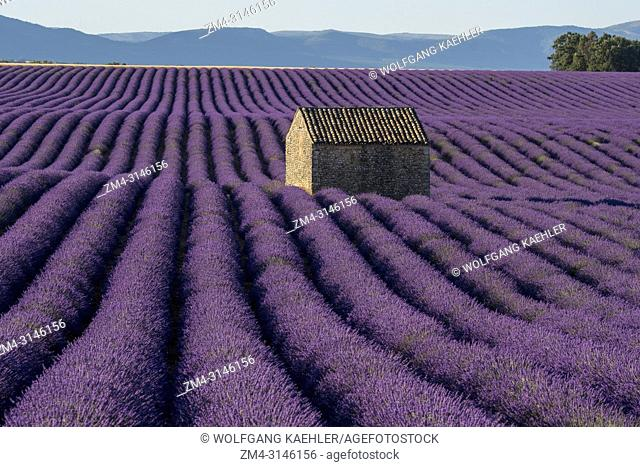 A small stone hut (Mazet) in a lavender field on the Valensole plateau near Digne-les-Bains and the Verdon gorges in the Alpes-de-Haute-Provence region in...