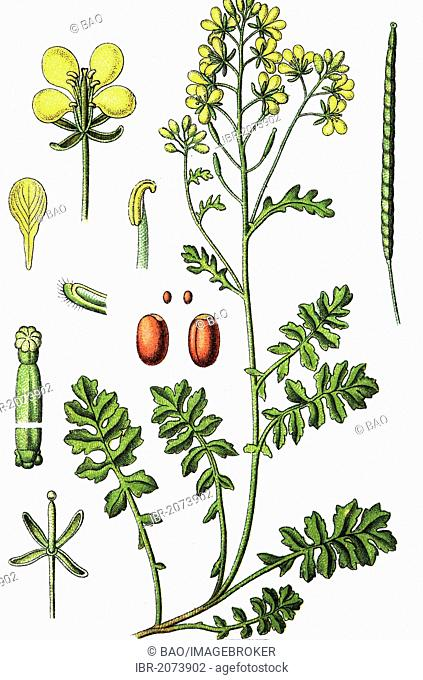 Watercress dogmustard (Erucastrum nasturtiifolium), medicinal and useful plants, chromolithography, 1880