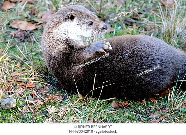 Local animal, Endemically, fish marten, otter, doggy, Lutra lutra, marten, marten-like, vipers, predator, predators, water martens, water vipers, game