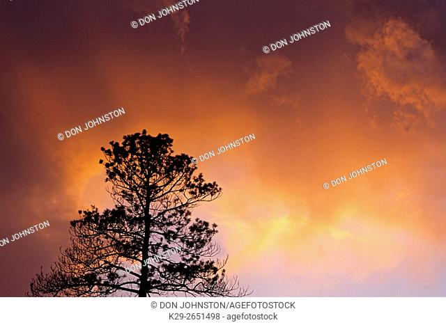 Red pine tree silhouetted at sunset, Greater Sudbury, Ontario, Canada