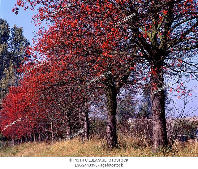 Rowan trees, Poland