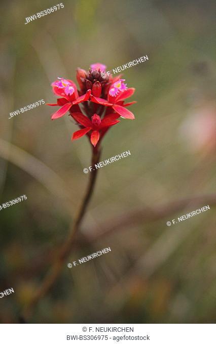 lopsided star orchid (Epidendrum secundum), blloming, Venezuela, Canaima National Park, Roraima Tepui