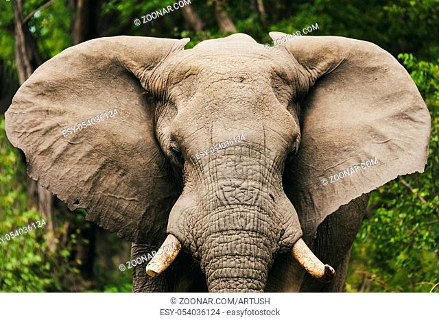 Majestic African Elephant in Moremi game reserve, Botswana safari wildlife