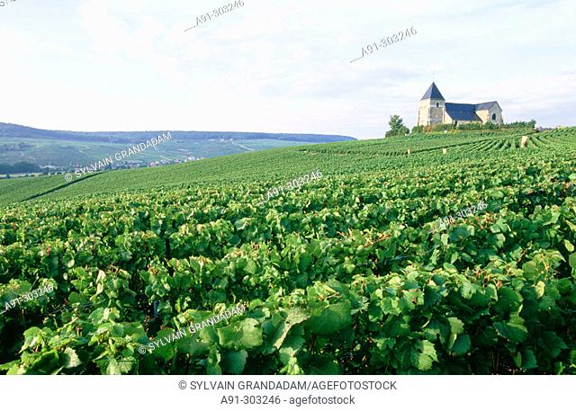France. Champagne. Haute Marne (51). Vineyards close to Chavot church