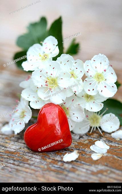 Hawthorn blossoms and red heart / (Crataegus monogyna)