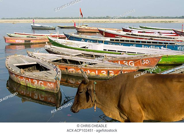 Cow and River Boats on the Ganges River, Varanasi, formerly Benares, Uttar Pradesh, India