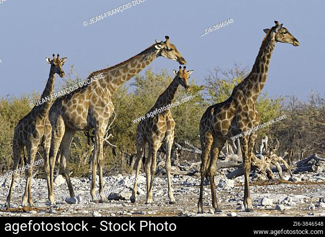 Namibian giraffes (Giraffa camelopardalis angolensis), herd with young male next to the waterhole in the evening sun, Etosha National Park, Namibia, Africa