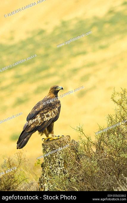 Golden Eagle, Aquila chrysaetos, Ã. guila Real, Castilla y León, Spain, Europe