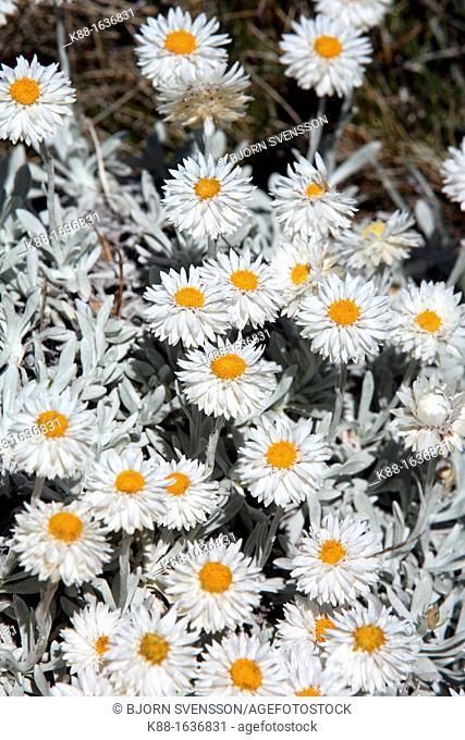 Branched Everlasting Helichrysum adenophorum  Australian Alps