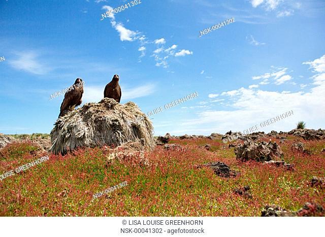 Two Striated Caracaras (phalcoboenus australis) resting on Tussock Grass (Poa flabellata), Falkland islands, Steeple Jason Island