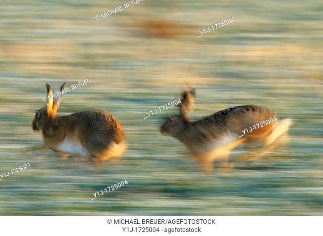 European brown hares, Lepus europaeus, Hesse, Germany, Europe