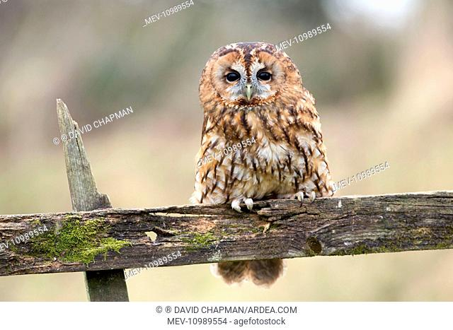 Tawny Owl portrait controlled conditions UK