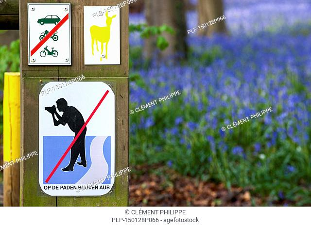 Bluebells (Endymion nonscriptus) in flower in beech woodland and prohibition sign warning photographers not to leave the paths at the Hallerbos / Halle forest...