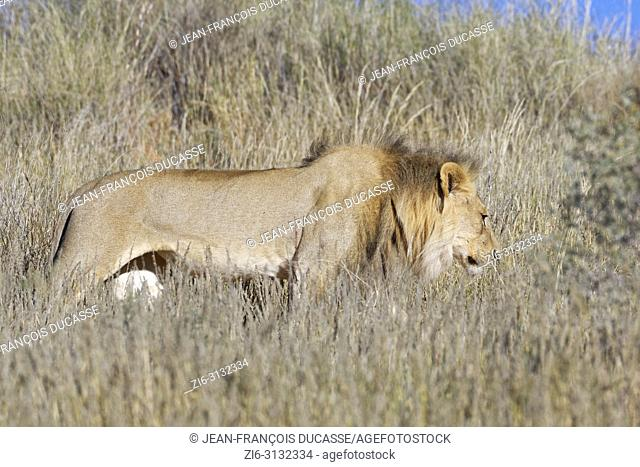 African lion (Panthera leo), adult male walking in high dry grass, Kgalagadi Transfrontier Park, Northern Cape, South Africa, Africa