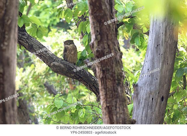 Brown fish owl (Ketupa zeylonensis) in forest, Kanha National Park, Madhya Pradesh, India