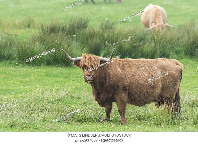 Highland cattle standing looking in to the camera with the tongue out, Islay, Scotland