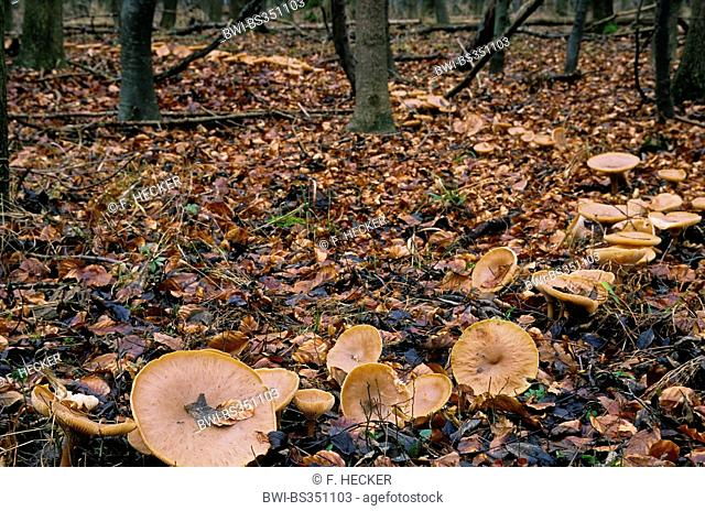 Trooping funnel, Monk's head (Clitocybe geotropa, Clitocybe maxima, Infundibulicybe geotropa), fairy ring, Germany