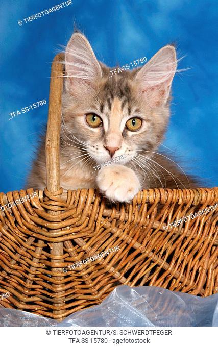 maine coon kitten in basket