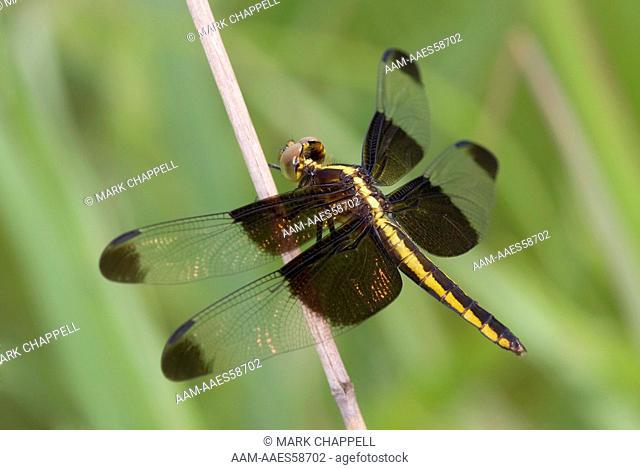 Female Widow Skimmer (Libellula luctuosa), Kansas, USA